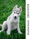 Puppy Of Siberian Husky Sits O...