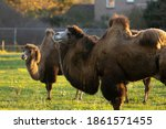 Pair Of Bactrian Camels In A...