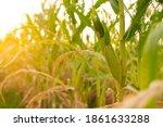 corn field with sunlight in...   Shutterstock . vector #1861633288