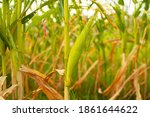 corn field with sunlight in...   Shutterstock . vector #1861644622