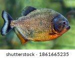 Small photo of Pacu fish piranha (Colossoma macropomum). Captive occurs in South America.