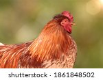 Red Rooster Against Blurred...