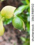 Organic Lime Growing On A Lime...
