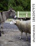 Sheep with donkey  farm animals ...