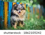 Pomeranian Spitz Puppy In...