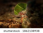 Atta Ant  Leafcutter Ants ...