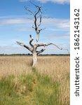Dead Tree On Grassland  Blue...