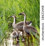 duck family   Shutterstock . vector #18621448