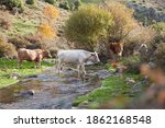 Cows Grazing In The Mountains...