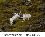 Mountain Hares  Lepus Timidus ...