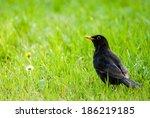 Yellow Beaked Blackbird  Turdu...