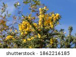 Gorse  Furze Or Whin Plant With ...