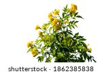 Bush Yellow Flower With On...