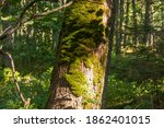 Trunk Of An Old Large Tree In...
