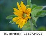Sunflower Macro Photography On...