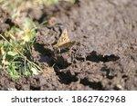 A Specimen Of Carcharodus A...
