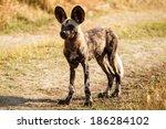 African Wild Dog At Okavango...