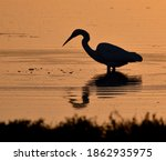 A silhouette of a great egret (Ardea alba) hunting in Elkhorn Slough in the golden light of the sunset.