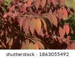 Autumn Coloured Leaves On A...