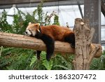 A Cute Red Panda Relaxing On A...