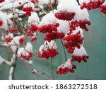 Red Viburnum In Winter. Red...