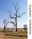 Dead Trees. Okavango Delta ...