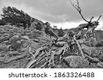 The Twisted Tree Of Bocca San...