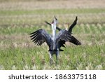 Two Hooded Cranes Fighting In...