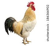An Adult Rooster Isolated On...