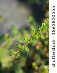 Bearberry Cotoneaster Coral...