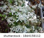Clematis Terniflora  Sweet...