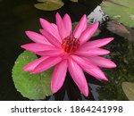 closeup pink lotus in water   Shutterstock . vector #1864241998