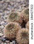 Mammillaria Sp. Cactaceae S.w....