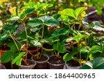 Strawberry Seedlings    Indoor...