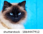 Cute Himalayan Siamese Cat...