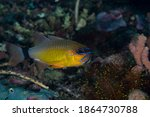 Ring Tail Cardinalfish...