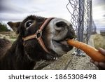 Donkey eating carrot in farm ...