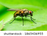 Exotic Drosophila Fly Diptera...