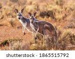 Two Female Red Kangaroos ...