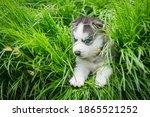 Blue Eyes Siberian Husky Puppy...