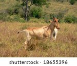 Small photo of Hartebeest, or Kongoni (Alcephalus buselaphus) in Masai Mara, Kenya