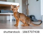 Abyssinian Cat At Home With Her ...