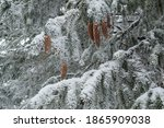 Pine Cones Covered With Snow....