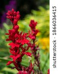 Small photo of Close up of a red cardinal flower (lobelia cardinalis) in bloom
