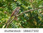 a yellow billed shrike ... | Shutterstock . vector #186617102