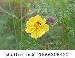 Beautiful Yellow Cosmos Bloom...