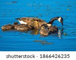 Family Of Canadian Geese With...
