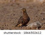 Namaqua Sandgrouse On Sand Next ...
