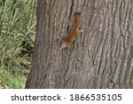 The American Red Squirrel ...