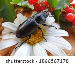 A Large Beetle Sitting On...